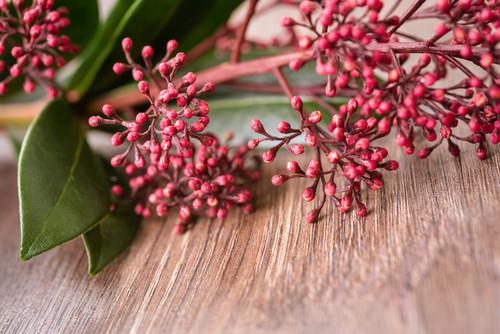 Skimmia japonica la pianta ideale per il freddo, da tenere in balcone o terrazzo in inverno