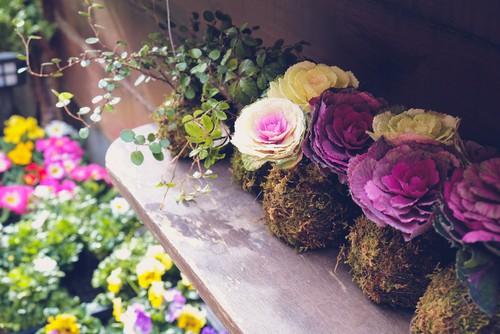 cavolo ornamentale da mettere in balcone o terrazzo per la stagione fredda, autunno o inverno