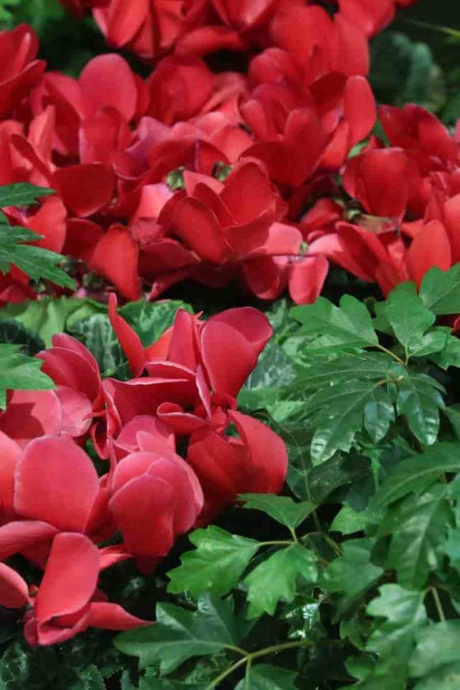 Ciclamino rosso, una pianta perfetta per Natale.