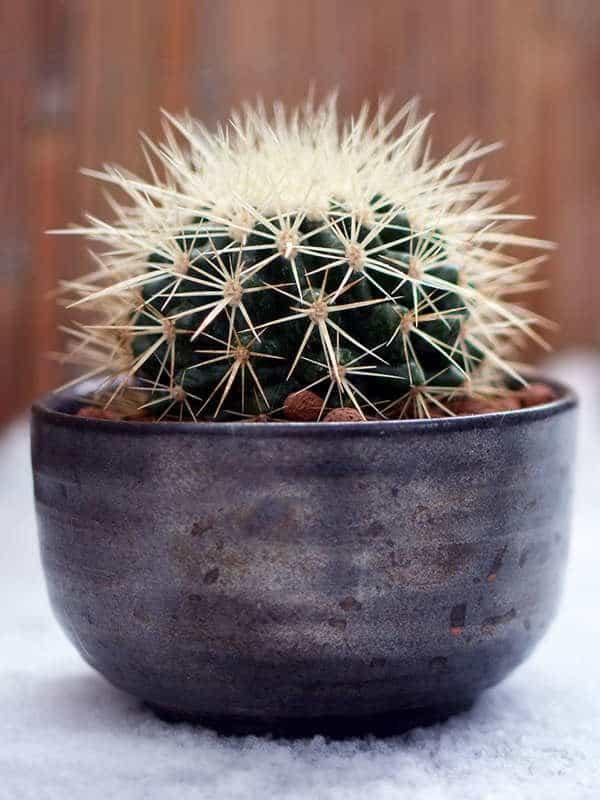 Cactus Barile, un cactus piccolo e semplice da coltivare.