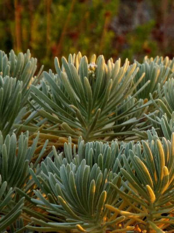 Cactus matita, un cactus verde semplice da coltivare dentro casa.