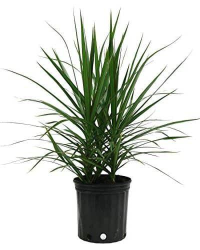 Dracena Marginata, una bellissima pianta da interno.