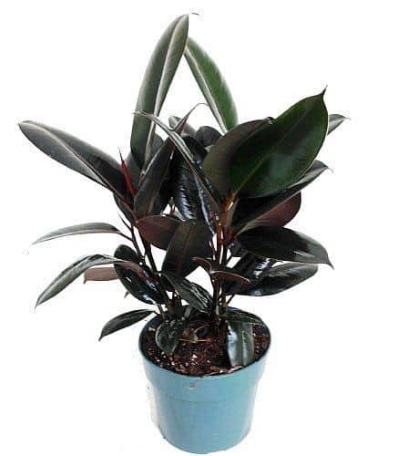 Ficus Lyrata, una pianta perfetta per arredare la casa.