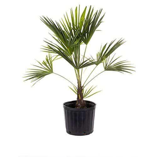 Palma del Giappone, una pianta perfetta per arredare la casa.