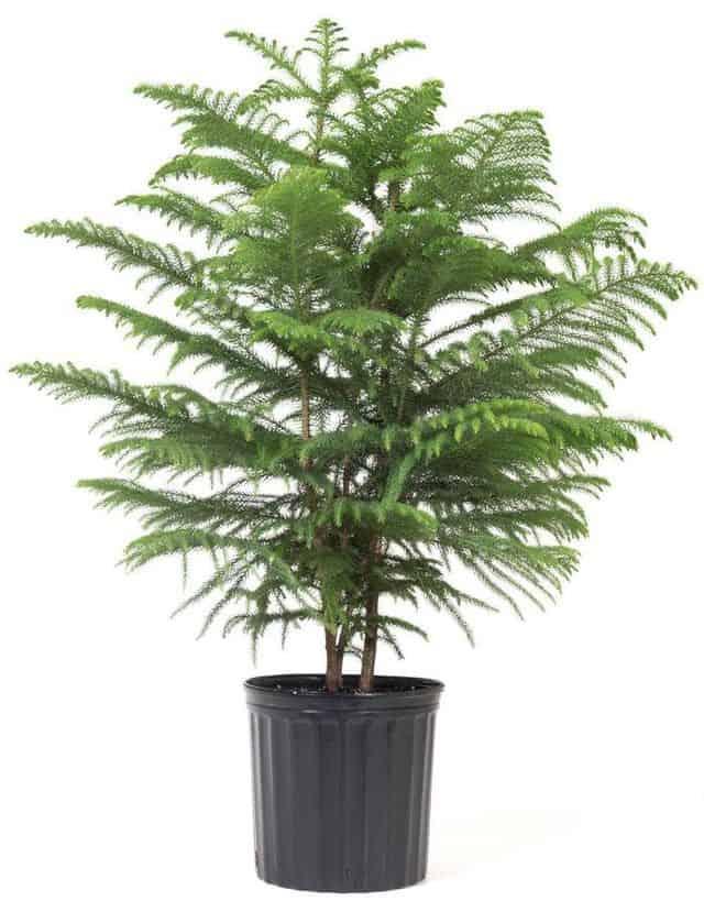 Pino del Norfolk, una pianta perfetta per arredare la casa.