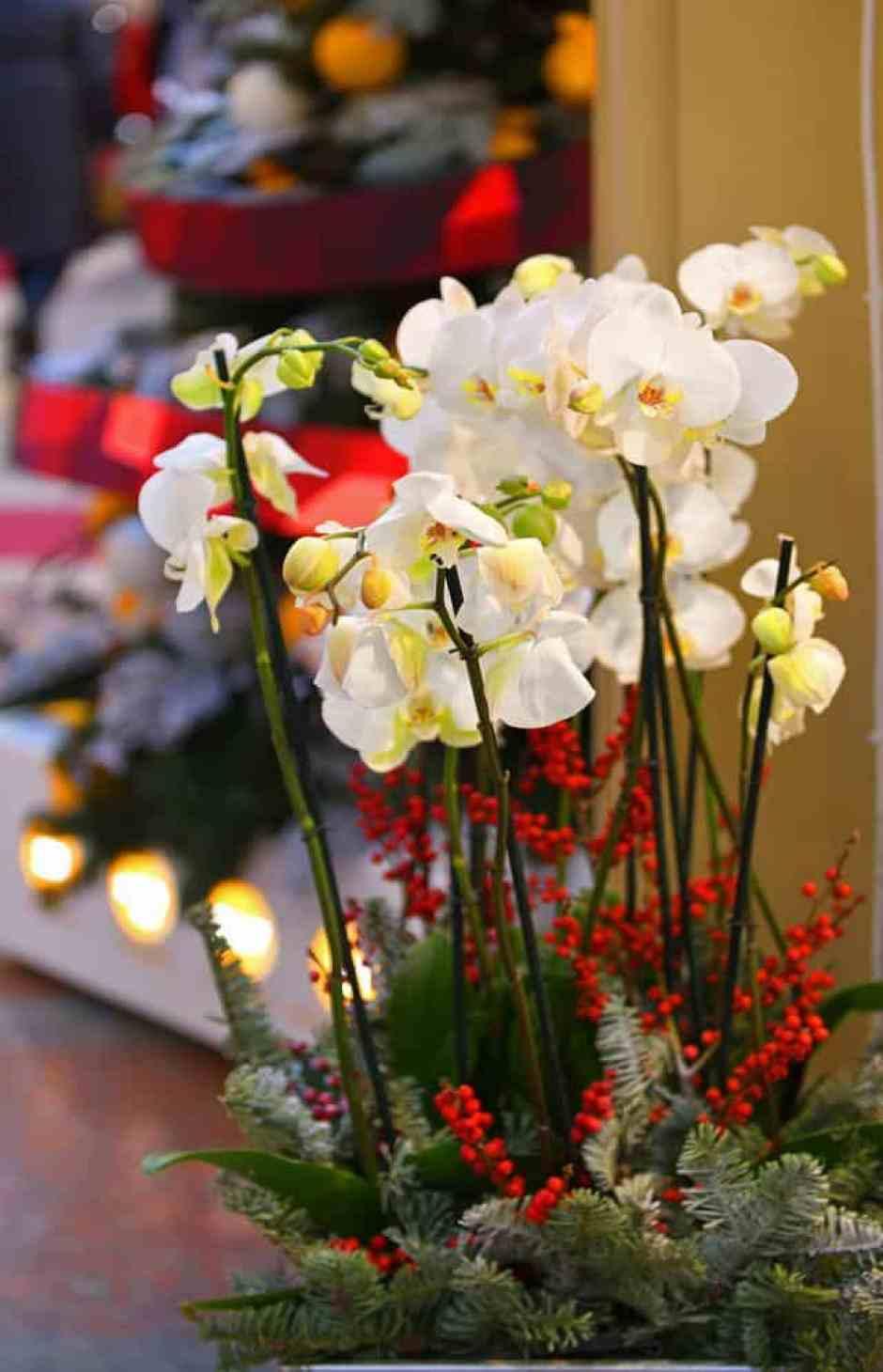 Orchidea Phalaenopsis, un fiore perfetto per Natale.