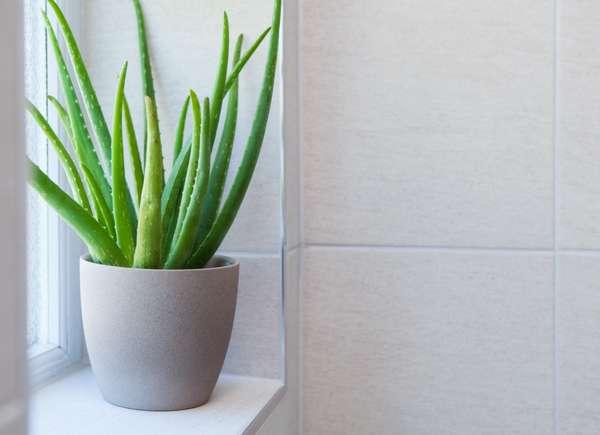 Aloe vera, una pianta perfetta per rinfrescare la casa.