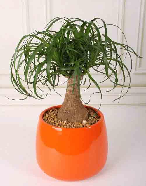 Beaucarnea recurvata, una pianta di interni che ha bisogno di poca luce