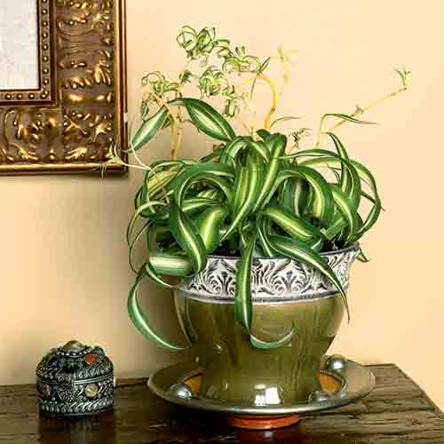 Chlorophytum comosum, una pianta di interni che ha bisogno di poca luce