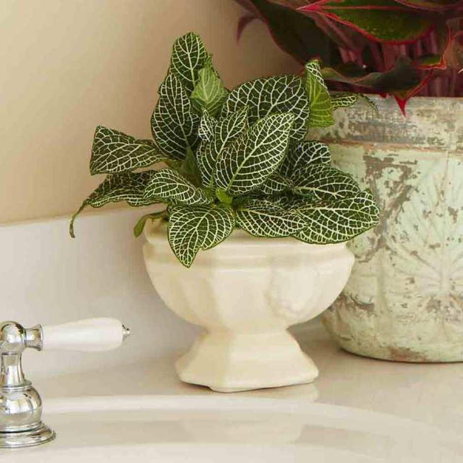 Fittonia, una pianta da interno che ha bisogno di poca luce.