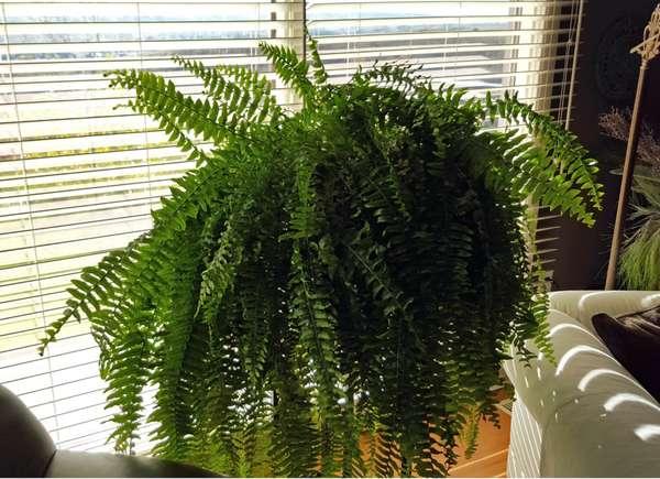 Felce, una pianta perfetta per rinfrescare la casa.