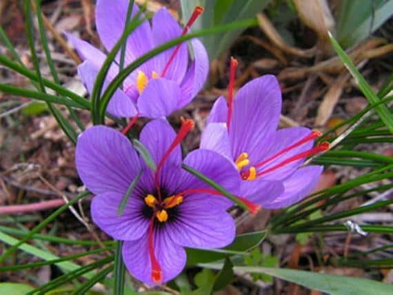 Crocus sativus, il fiore dello zafferano