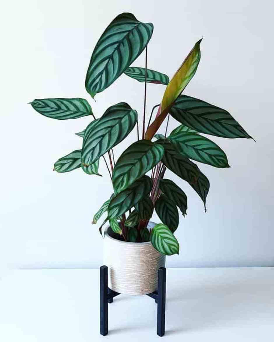 Ctenanthe, una pianta d'appartamento bella da vedere e facile da coltivare.