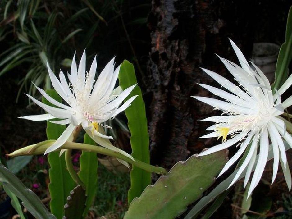 Fiore di Kadupul, uno dei fiori più costosi al mondo.