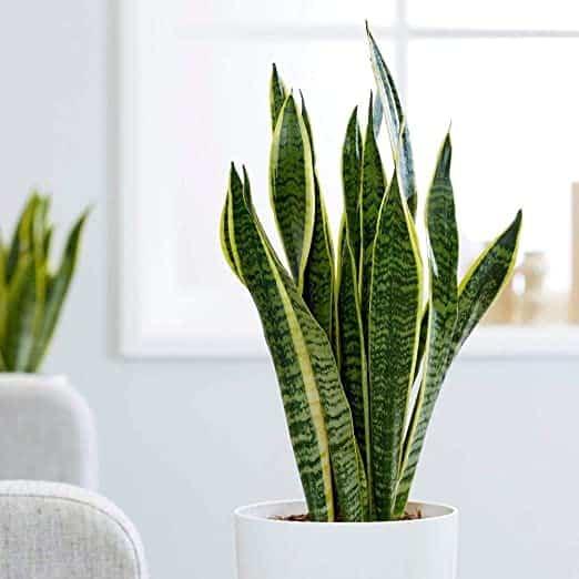 Sanseviera Trifasciata, una pianta d'appartamento facile da coltivare.