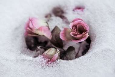 rose che crescono sotto la neve