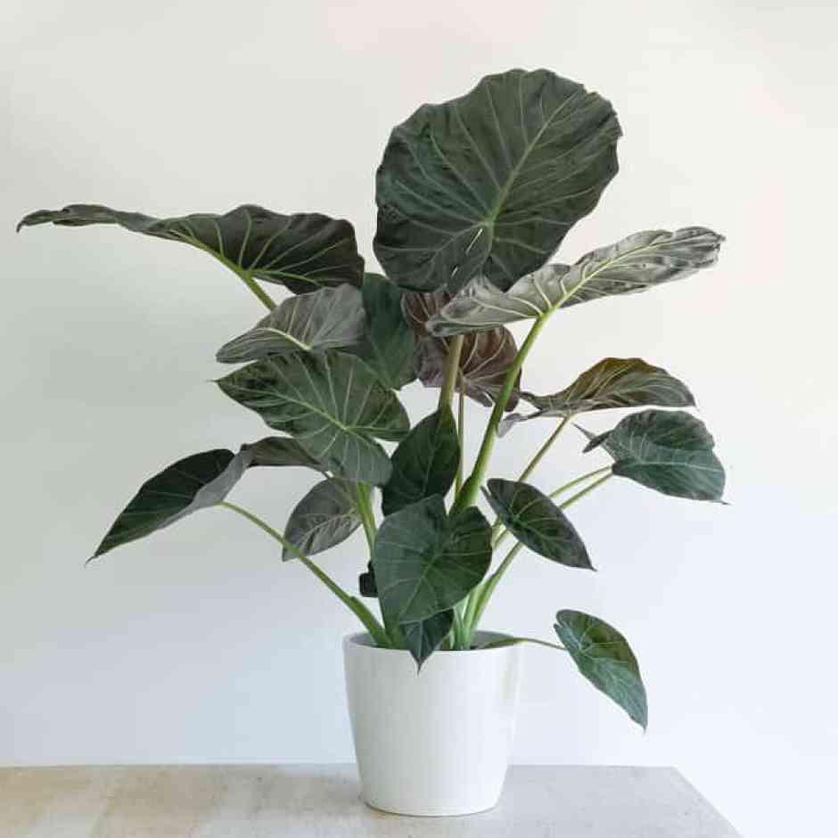 Alocasia Regal Shield, piante dalle grandi foglie conosciuta anche con il nome di orecchio di elegante.