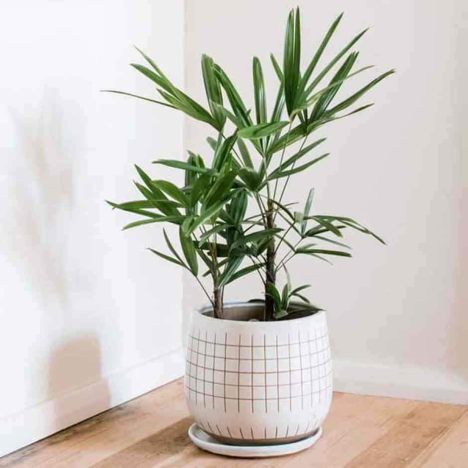 Raphis Palm, una pianta da pavimento di grandi dimensioni