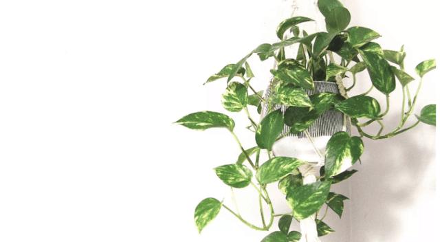 Pothos, una pianta perfetta per la cucina