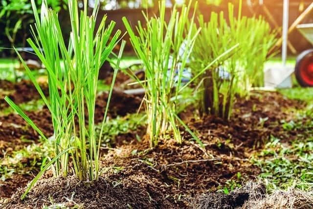 coltivazione di citronella, una pianta profumata che in estate diventa un ottimo e naturale repellente per le zanzare