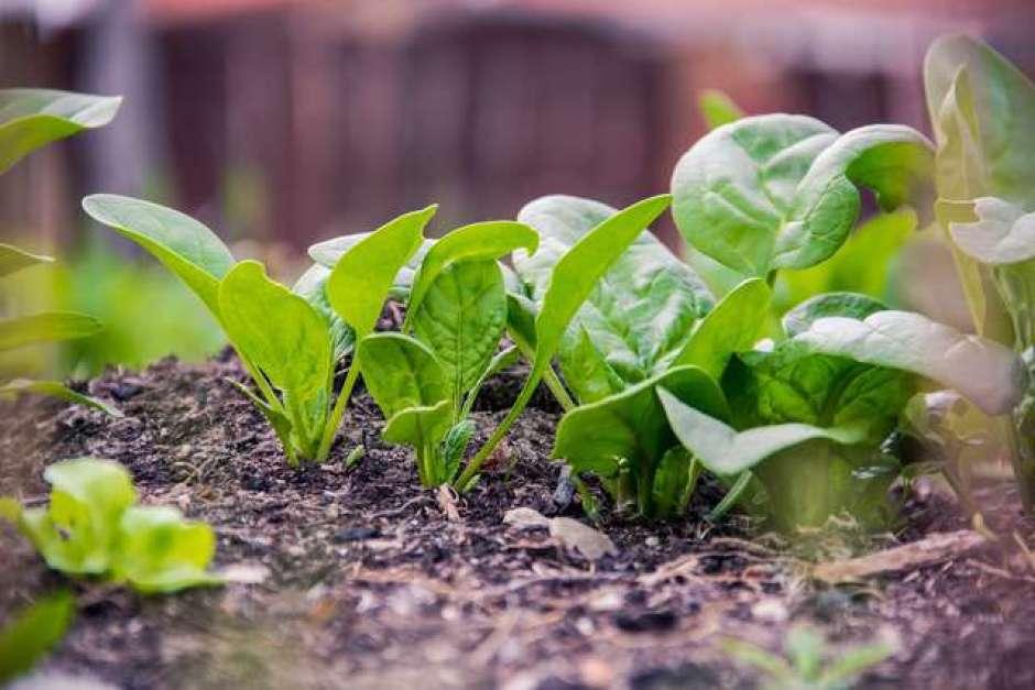 spinaci un ortaggio molto semplice da coltivare