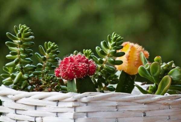 false verità sulle succulente