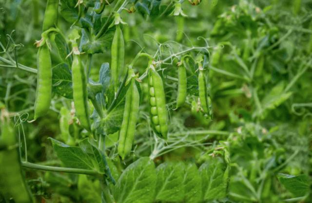 Piselli, legumi che si possono coltivare nell'orto in primavera