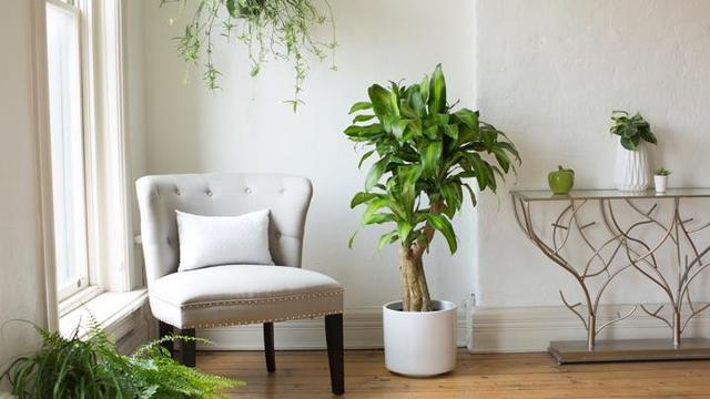 Dracena, una pianta adatta al giardinaggio di settembre