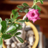 Rosa del deserto in vaso
