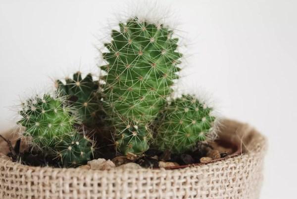 Come coltivare un cactus dentro casa