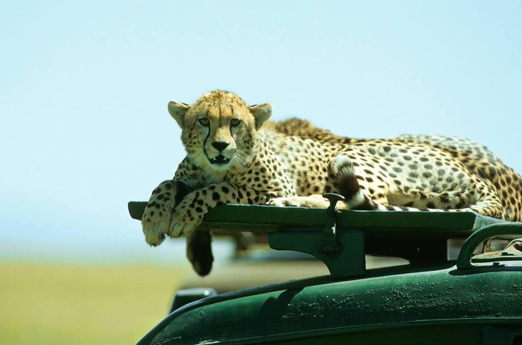Guépard sur le toit d'un 4x4 Masaï Mara Kenya