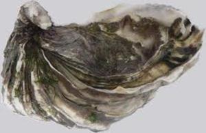 huître japonaise