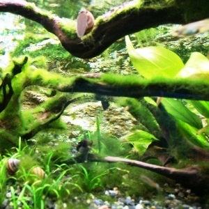 aquarium porte dorée0147