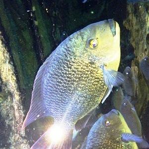 aquarium porte dorée0174