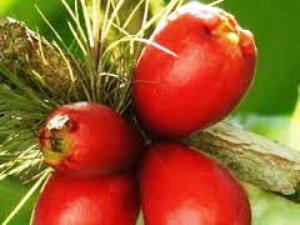 Jambosier rouge