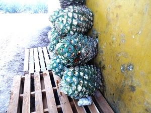 mexiquevisite fabrique tequila4