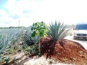 mexiquevisite fabrique tequila9