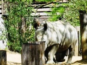 rhinocerosblanc22