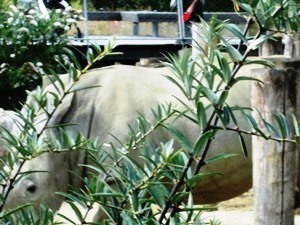 rhinocerosblanc24