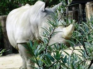 rhinocerosblanc25