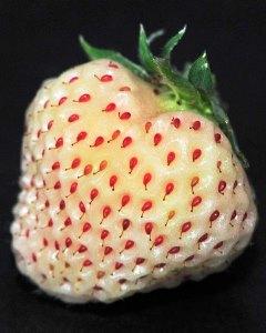 Fraise ananas ou fraise blanche