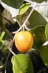 Pomme-surette ou jujube tropicale ou pomme-malcadi ou bidira1