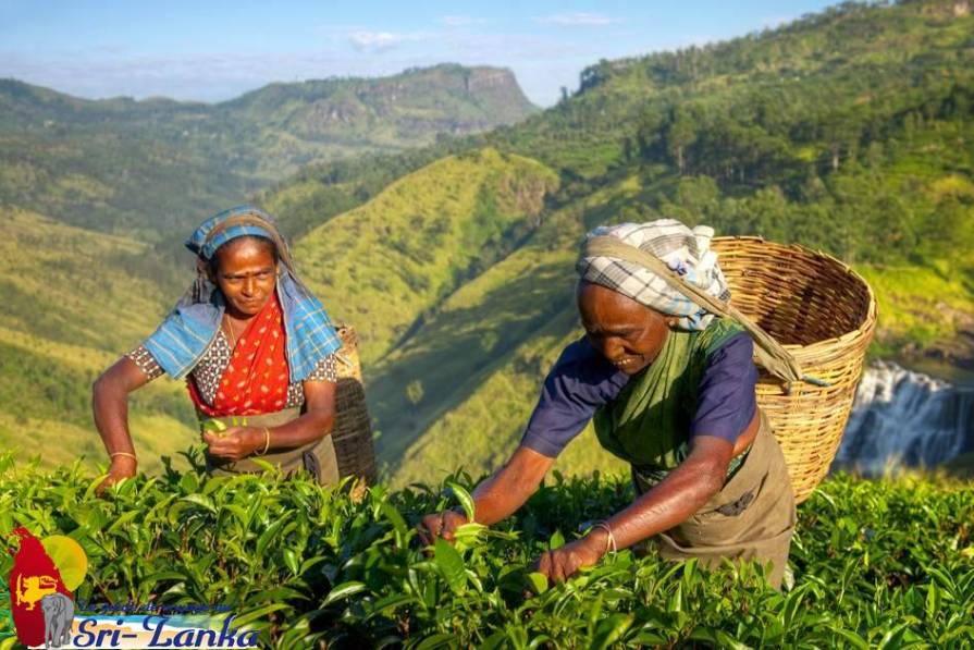 Ramasseuses de thé au sri lanka