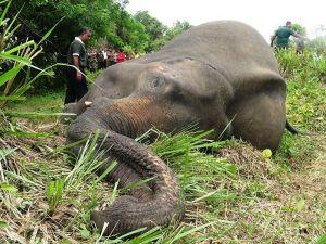 Éléphants morts