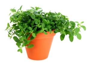 growing oregano, oregano plant