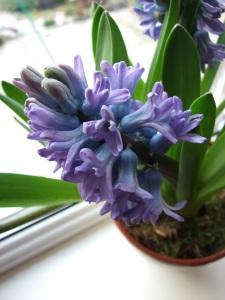 https://i2.wp.com/www.guide-to-houseplants.com/image-files/hyacinth-flower.jpg