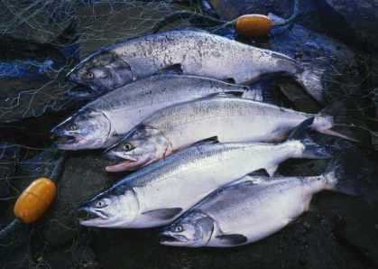 Types of Salmon fish