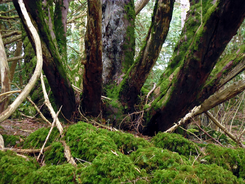 multiple trees P1010496