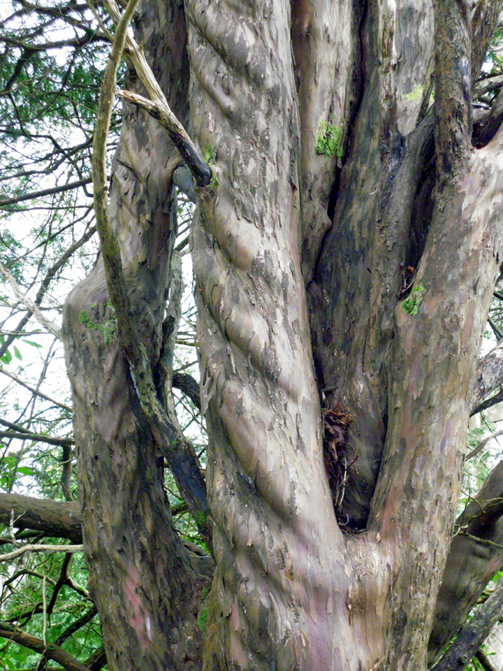 ridged bark P1010477