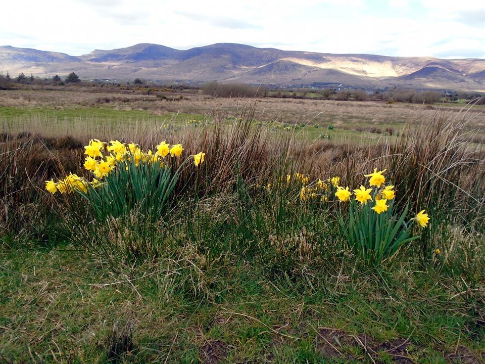 daffodils DSC00071